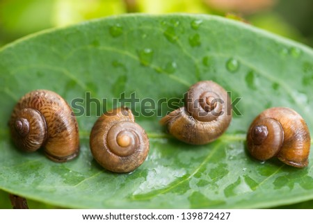 Garden snails play dead by shutting their aperture with the operculums. Operculum is a round disc that attached on top of a snail's foot and acts as a lid or trapdoor. - stock photo