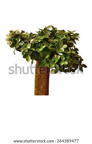 Garden tree on white background. - stock photo