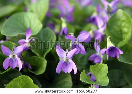 garden violet blooms profusely lilac flowers - stock photo
