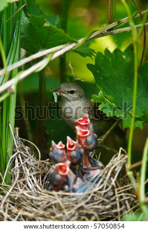 Garden Warbler (Sylvia borin) by a nest with baby bird. - stock photo