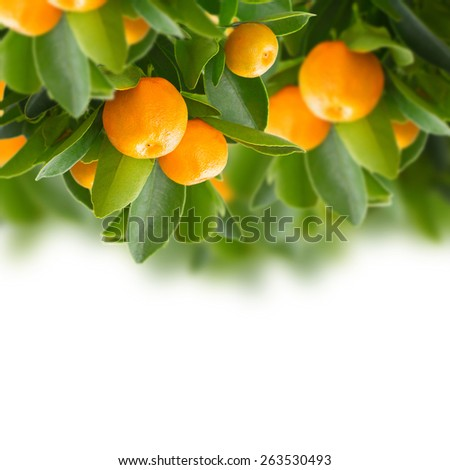 Garden with tangerine tree branches   on white background - stock photo