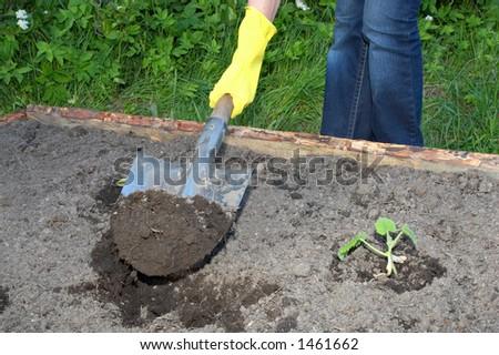 garden work - digging by shovel closeup - stock photo