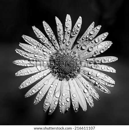 garden yellow daisy flowers (black and white) - stock photo