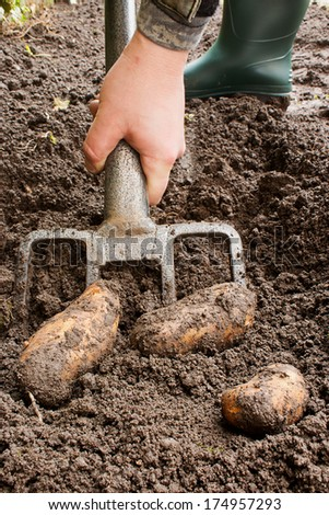 Gardener harvesting a potato crop with a garden fork. - stock photo