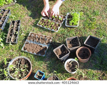 Gardener is replanting tomato seedlings in different pots and boxes. - stock photo