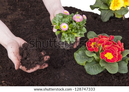 gardener planting spring flowers in flowerbed. primroses and bellis perennis (daisy flower) planting in flower soil, isolated on a white background. - stock photo
