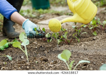 Gardener watering and fertilizing freshly planted broccoli seedlings in garden bed for growth boost. Organic gardening, healthy food, nutrition and diet, self-supply and housework concept.  - stock photo