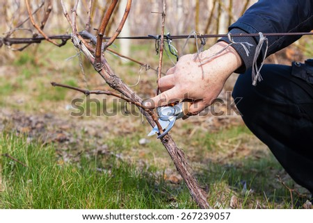 Gardener with a sharp pruner making a grape pruning - cutting branches at spring - stock photo