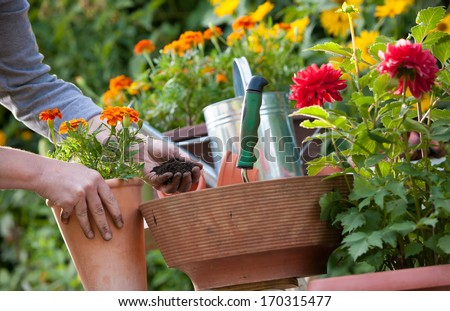 Gardeners hand planting flowers in pot with dirt or soil - stock photo