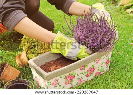 gardeners hand planting heather flowers in pot with soil - stock photo