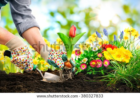 Gardeners hands planting flowers at back yard - stock photo