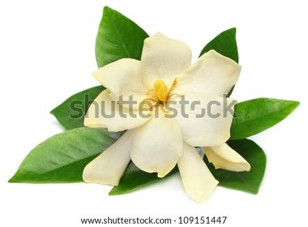 Gardenia or Gondhoraj flower of Southern Asia - stock photo
