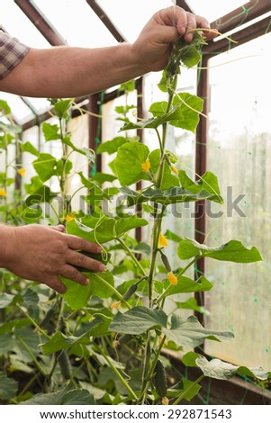 Gardening, care of plants. Gardener ties up cucumbers. Working with plants, growing organic vegetables. - stock photo