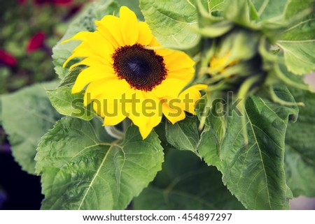 gardening, flowers, nature and botany concept - close up of blooming sunflower in garden - stock photo