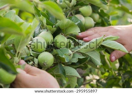 Gardening. Growing apple trees, the gardener takes care of the apple trees. Farming. - stock photo