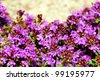 Gardening or landscaping background: creeping, wild or Breckland thyme (Thymus serpyllum) blossom with its dense mat of tiny purple flowers, copy space on back rock, hdr. - stock photo