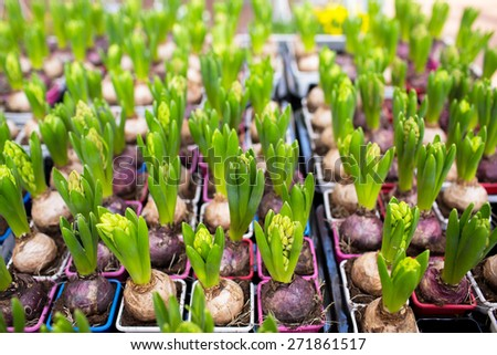 gardening, planting and flora concept - close up of hyacinths seedlings at greenhouse - stock photo