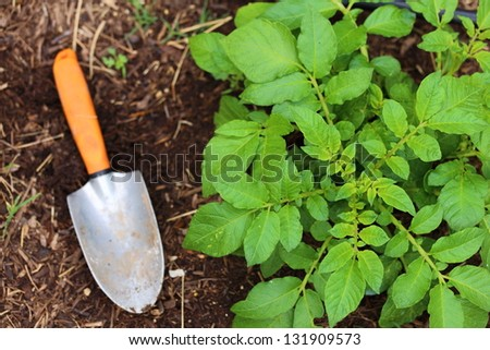 Gardening shovel with a orange rubber handle laying next to a growing russet potato plant - stock photo