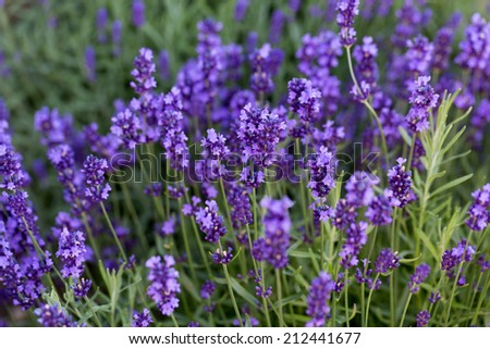 Gardens with the flourishing lavender - stock photo