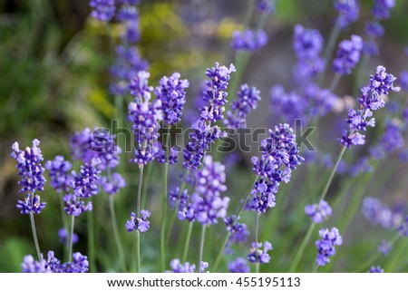 Gardens with the flourishing lavender  - stock photo