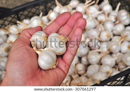 Garlic bulbs in hand, agriculture - stock photo