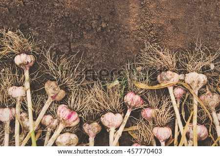 Garlic bulbs with tops on the ground - stock photo