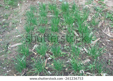 Garlic chives growing on a soil - stock photo