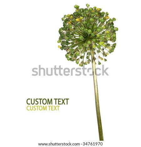Garlic-like flower detail isolated on pure white background. - stock photo