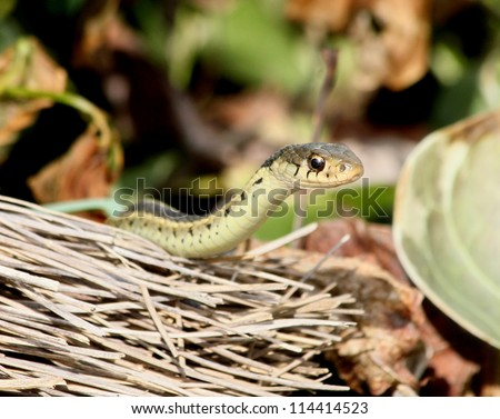 Garter snake peeking over an old broom. - stock photo