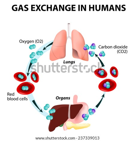 Gas exchange in humans. Path of Red Blood Cells. Oxygen transport cycle. Both oxygen and carbon dioxide are transported around the body in the blood from the lungs to the organs and again to the lungs - stock photo
