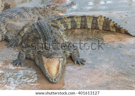 Gators hold the animal at the top of the food chain ah. Because of the large carnivorous predators. That no natural enemies Except in young alligator The food becomes larger. - stock photo