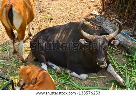 Gaur and Banteng in rainforest - stock photo