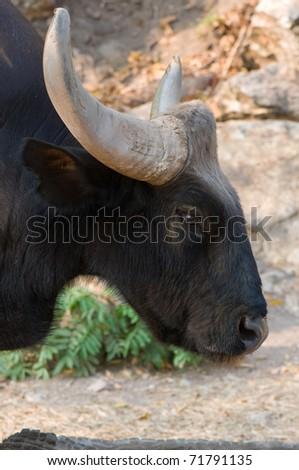 gaur in the zoo - stock photo