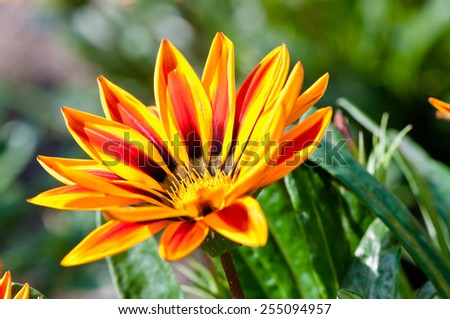 Gazania flower native to South Africa, but found widely in Australia - stock photo