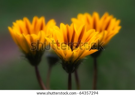 Gazania splendens - stock photo