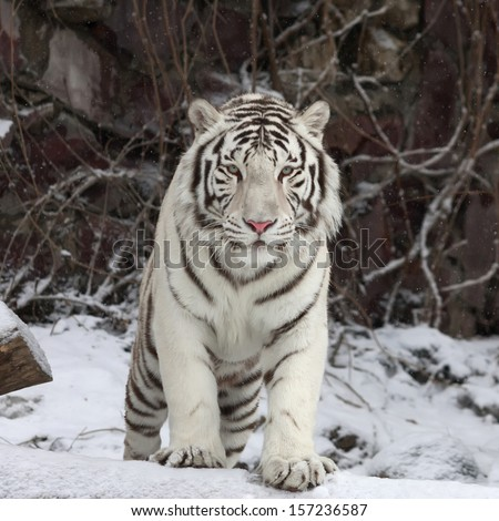 Gaze of a white bengal tiger, stepping over the fallen tree in snowy forest. The most beautiful animal and very dangerous beast of the world. This severe raptor is a pearl of the wildlife. - stock photo
