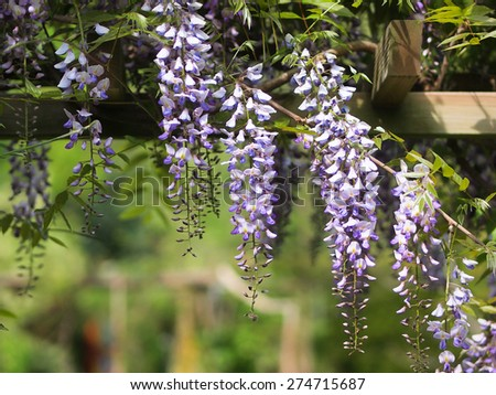 Gazebo with Wisteria on an arbour in a sunny garden - stock photo