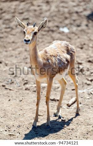 Gazelle baby in safari - stock photo