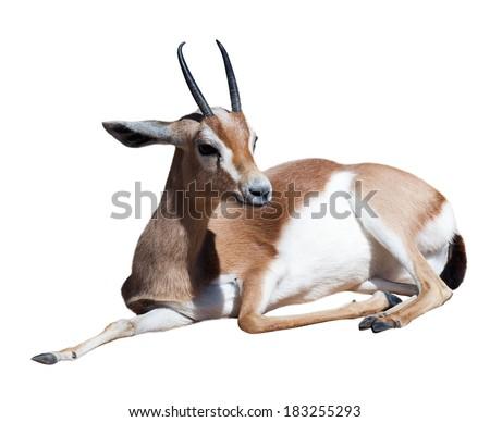 Gazelle Saharian dorcas.  Isolated over white background - stock photo