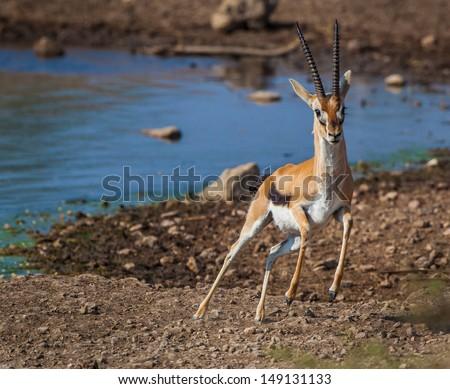 Gazelle starts to take off fast - stock photo