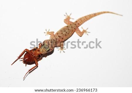 Gecko caught a beetle on the wall, Sri Lanka - stock photo