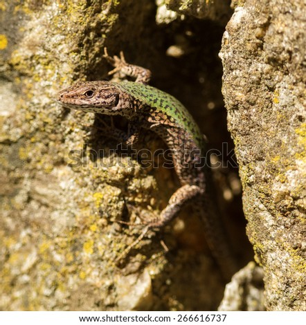 Gecko getting out of a hole, close-up - stock photo
