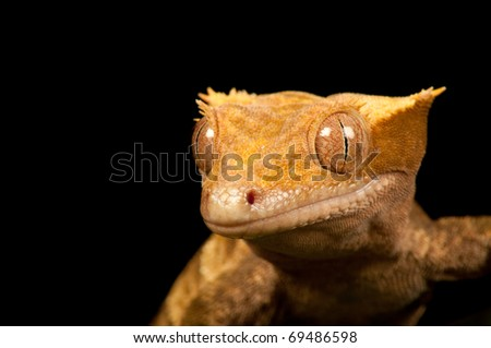 Gecko Head-shot - stock photo