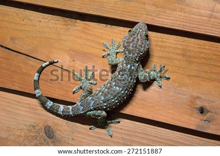 gecko is peel the light blue and orange on wood wall - stock photo