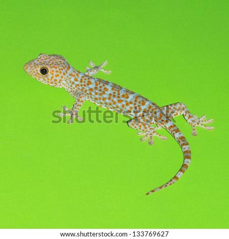 Gecko on green wall - stock photo