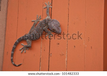 gecko on orange color wall - stock photo