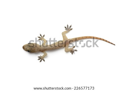 Gecko on white - stock photo