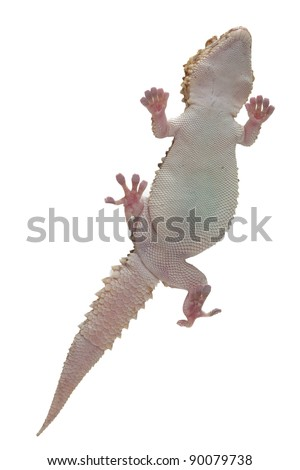 Gecko over white background walking on a glass visible from the bottom - stock photo