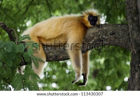 Golden langur at rest