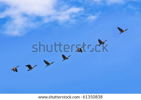 geese fly south - stock photo